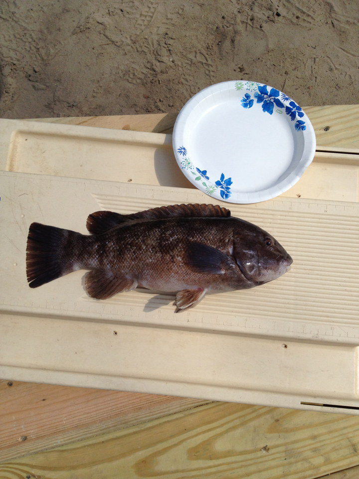 Tautog, indian river inlet, green crabs, DSF, delaware surf fishing, toggin, tog,