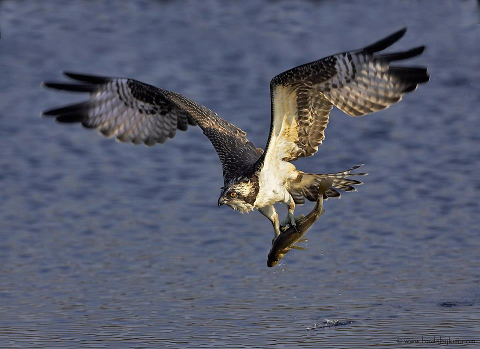 osprey, tri state bird rescue and research, osprey injuries, bird rescues, Frink Center for Wildlife