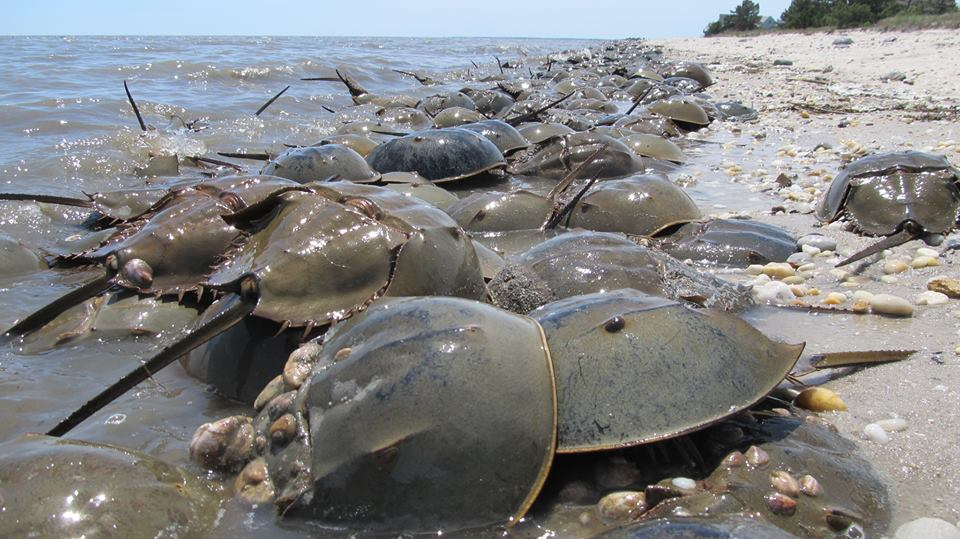 tagged horseshoe crabs, migration of crabs, pickering beach, delaware bay, DSF, delaware surf fishing