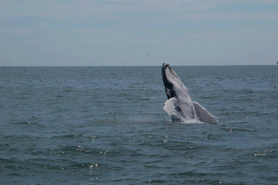 humpback whale in ocean city marlyand, paradise watersports, dsf, delaware surf fishing, OCMD