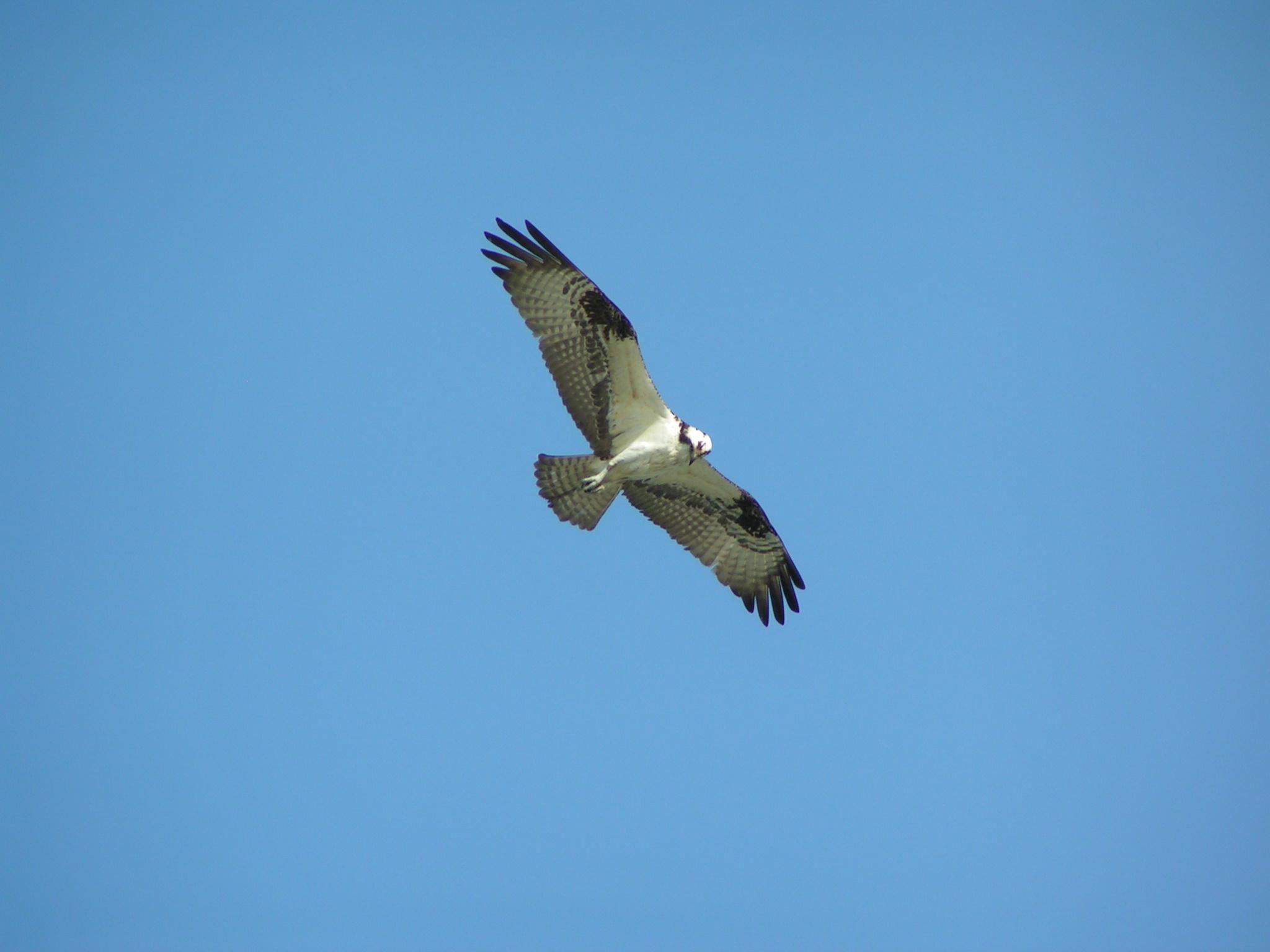 Osprey, raptors, birds of prey, hunting birds, DNREC