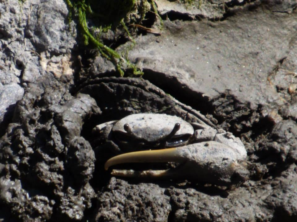 fiddler crab, lewes canal, lewes harbor marina, crustaceans of the east coast, land crab,