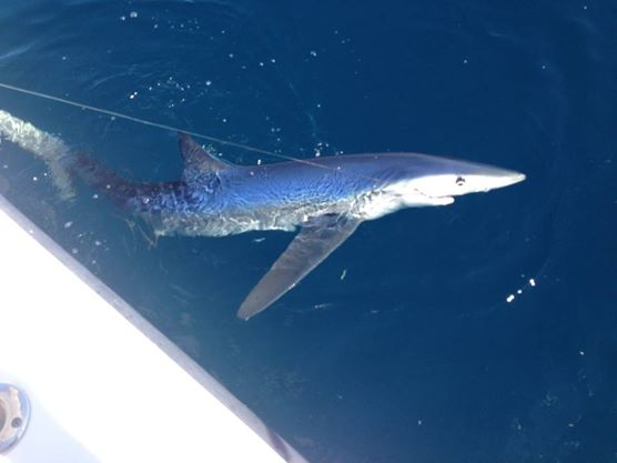 Shark fishing in delaware the rules clarified delaware surf blue shark in delaware deep blue mayhem shark fishing altavistaventures Image collections