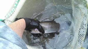 trout stocking, delaware, new castle county, white clay creek, newtons pond,