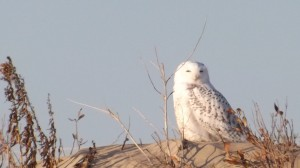 snowy owl, delaware seashore state park, irruption, arctic migration, migrating raptors