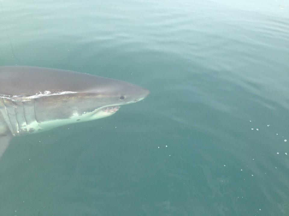 Great White shark, OCEARCH, atlantic sharks, seal hunting, the canyons