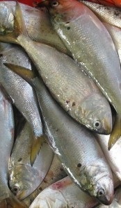 bunker, forage fish,menhaden