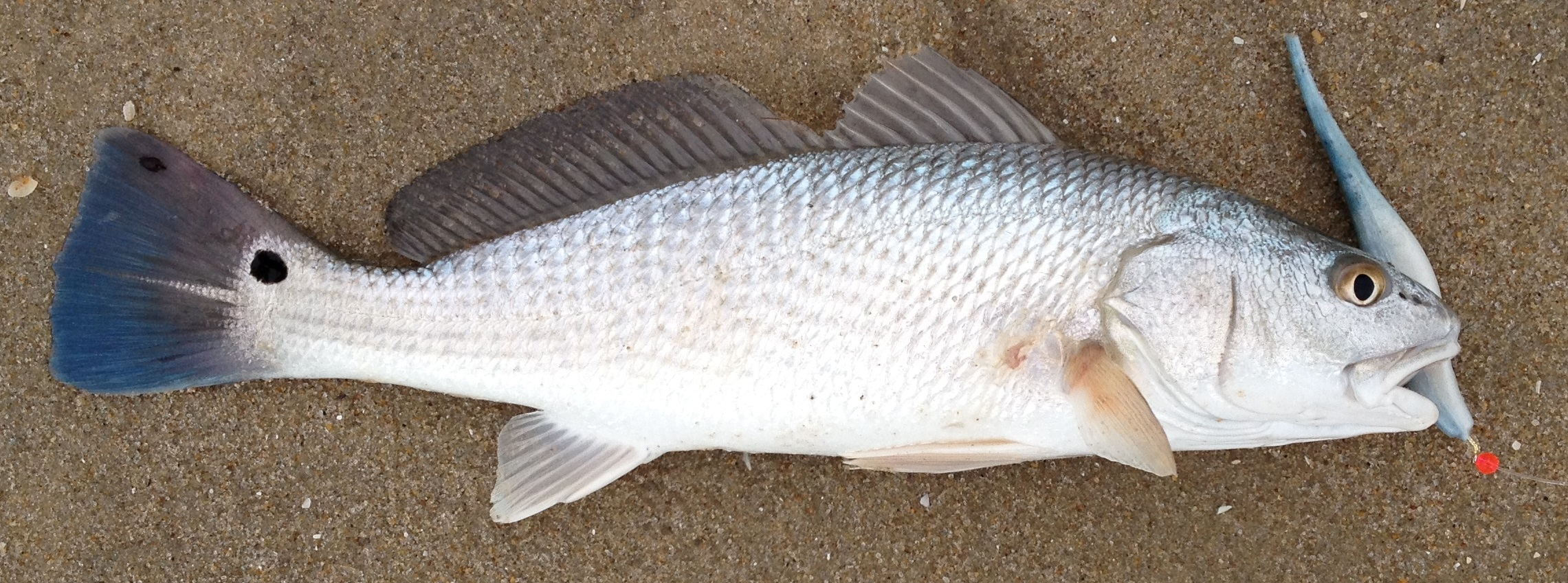 Red drum sciaenops ocellatus delaware surf for Red drum fishing