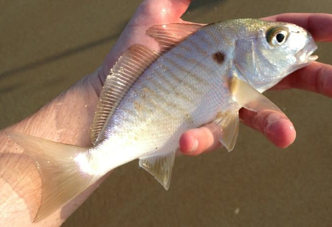 Image gallery spot fish for Fishing in delaware
