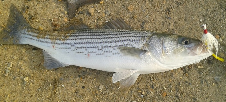 Massachusetts sets striped bass limits delaware surf for Surf fishing for stripers