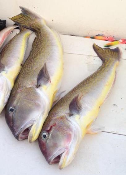 Tilefish, Atlantic fish