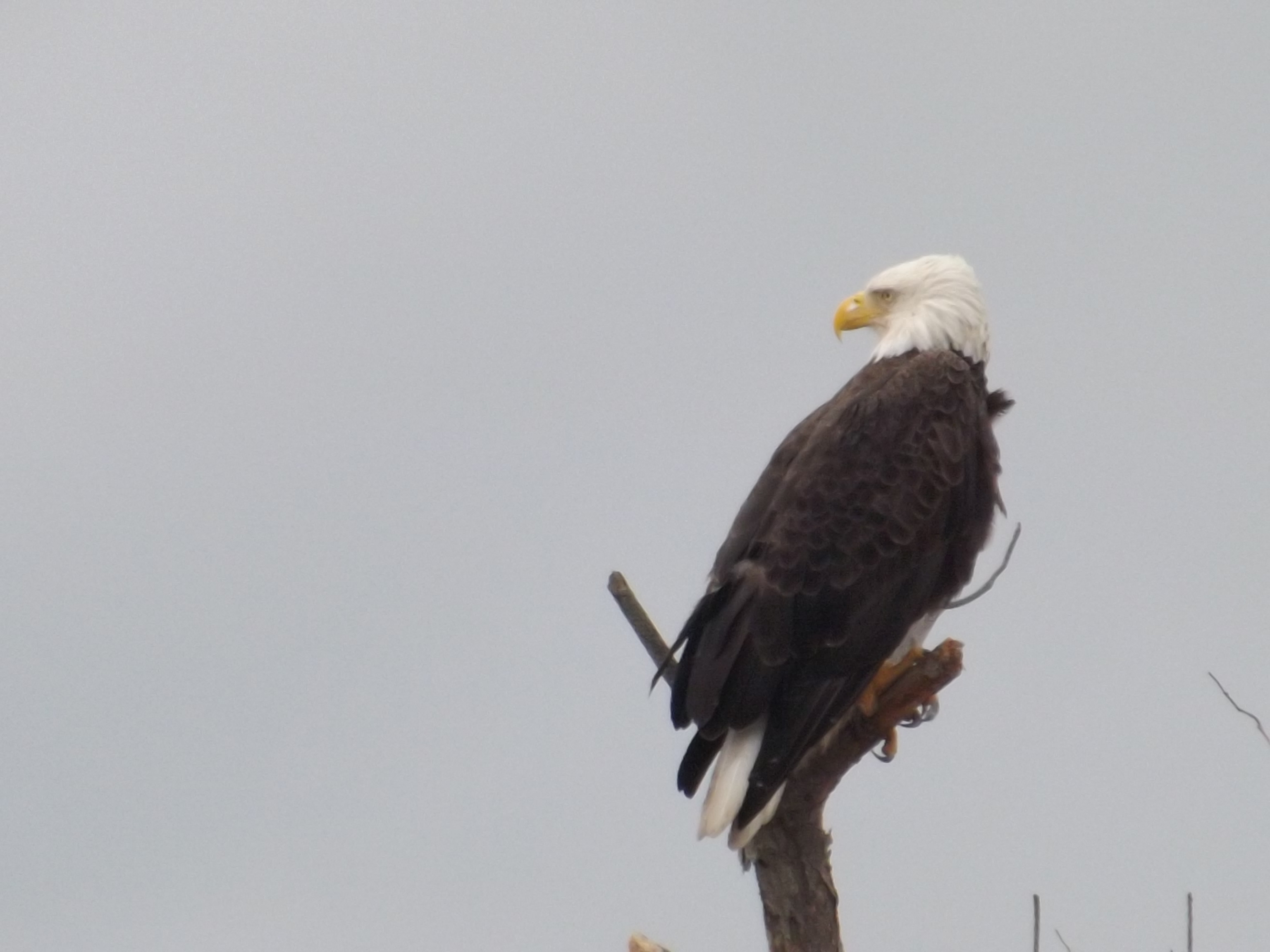 bald eagle, 1000 acre marsh, bird watching, ecotourists, C&D canal, route 9 augustine wildlife area, delaware wildlands,