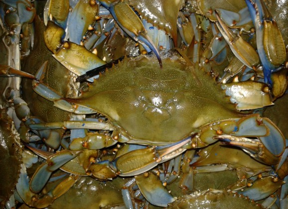 Delaware surf site dedicated to fishing the for Blue crab fishing