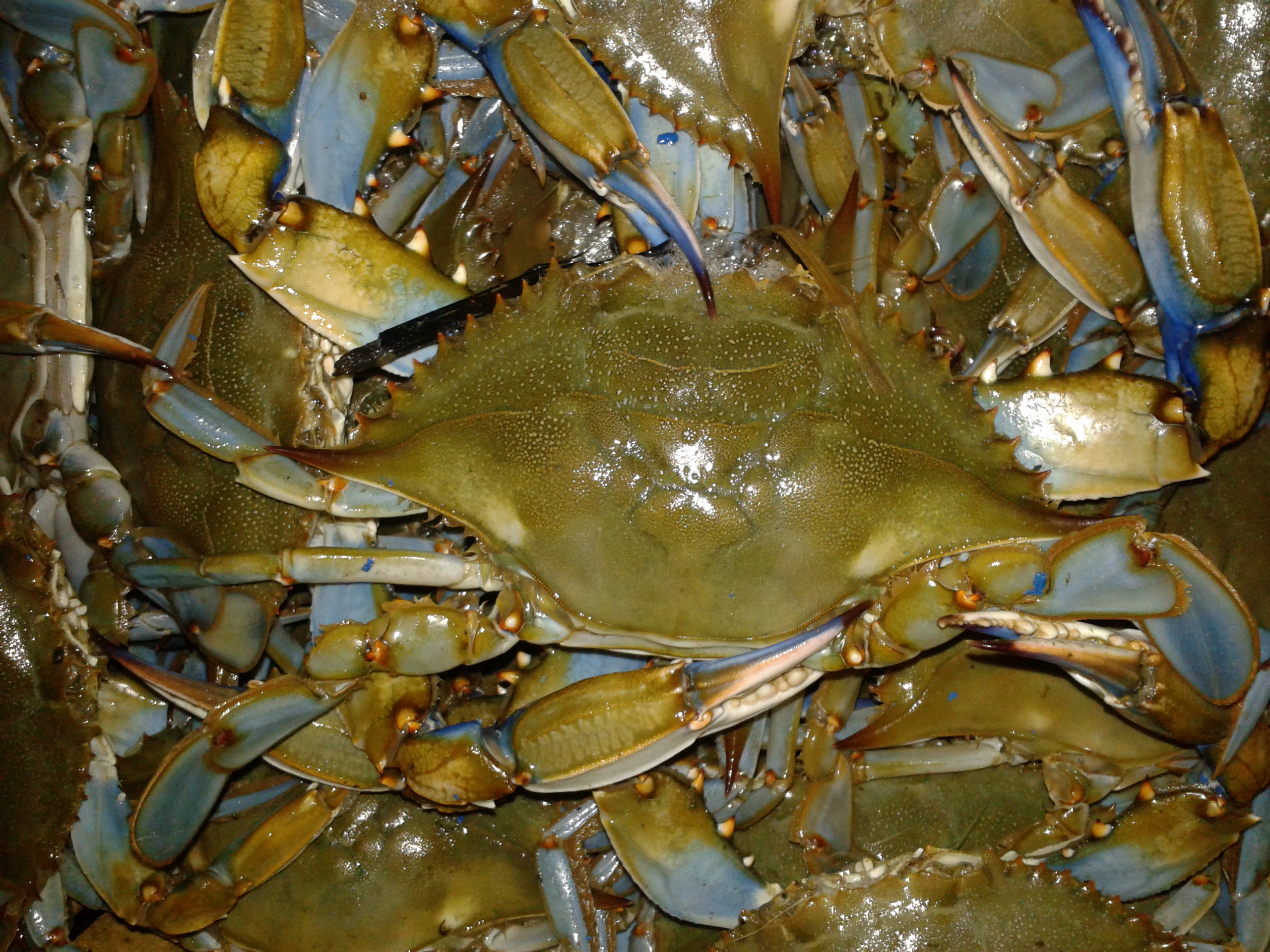 Blue Claw Hard Crabs, steamers, crab cakes, maryland crabs, delaware crabs, trot lines, crab rings