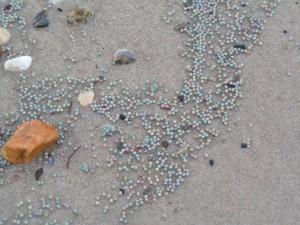 Horseshoe crab eggs, Broadkill Beach, delaware bay, sussex county, DNREC surveys,
