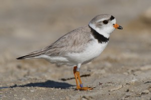 piping plover, protected birds, taste like chicken, beach closures