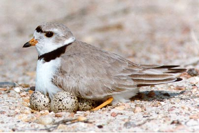 beach closures, endangered birds, piping plover
