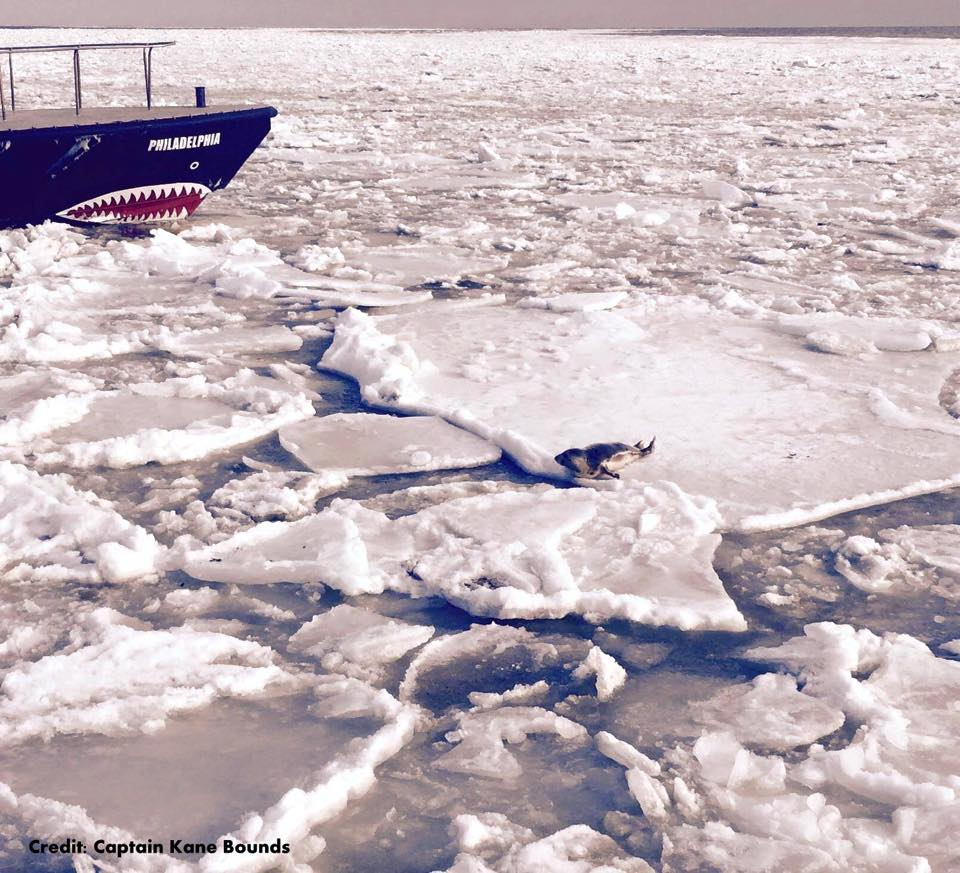 seal, ice breakers, pilot ships, delaware bay ice pack, pancake ice, grease ice, delaware bay launch