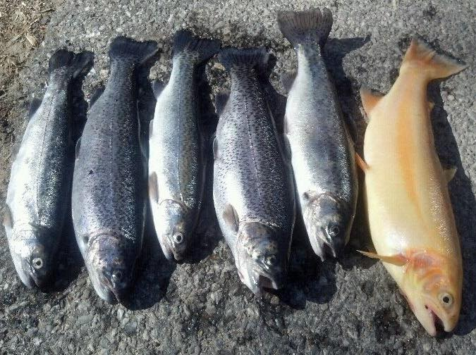 spring trout season in Delaware, white clay creek, brandywine creek, pike creek , mill creek, golden trout