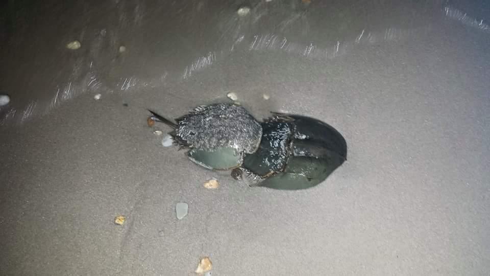 Horseshoe Crabs, spawning survery, DNERR, DuPont Nature Center, Delaware National Estuarine Research Reserve