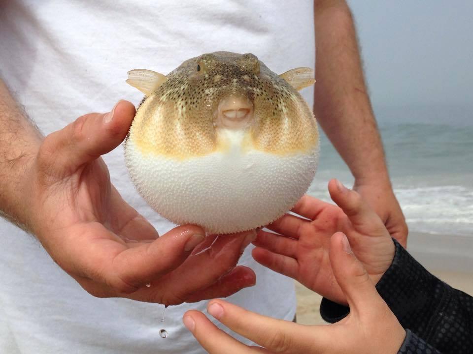 puffer fish, blow toads, delaware seashore state park