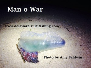 blue bottle, man o war, delaware, sussex county