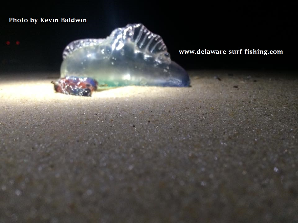 delaware, sussex county, man o war, blue bottle, jellyfish stings,