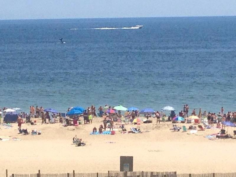whale in ocean city MD, seeing whales form the beach, whales in delaware, sussex county, delmarva