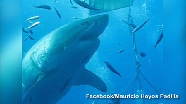 deep blue, great white shark, Mauricio Hoyos Padilla