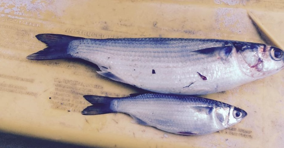 cob mullet, delaware, sussex county, delaware bay, atlanticbait fish, migratory nait fish, sea mullet, bluefish candy, estuary baitfish