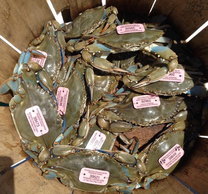 animal tracking program SERC, Smithsonian Environmental Research Center's blue crab research program, assawoman bay, maryland blue crabs, chesapeake bay, core sound