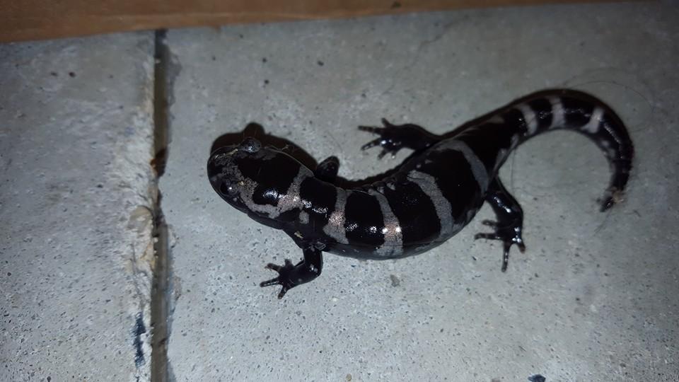 marbled salamander, delaware, sussex county
