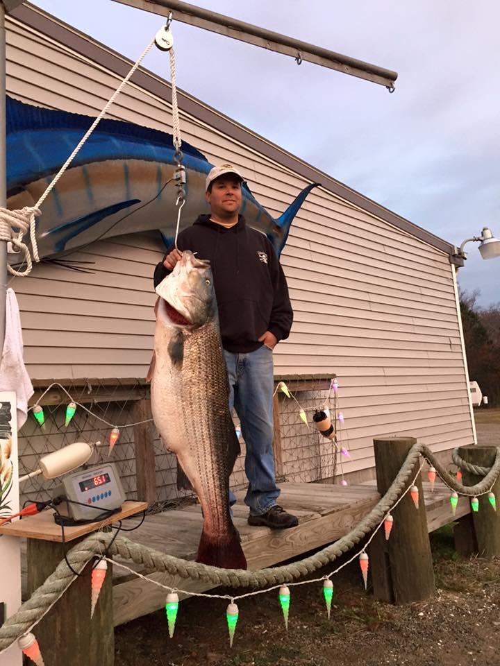 striped bass, rockfish, fall migration
