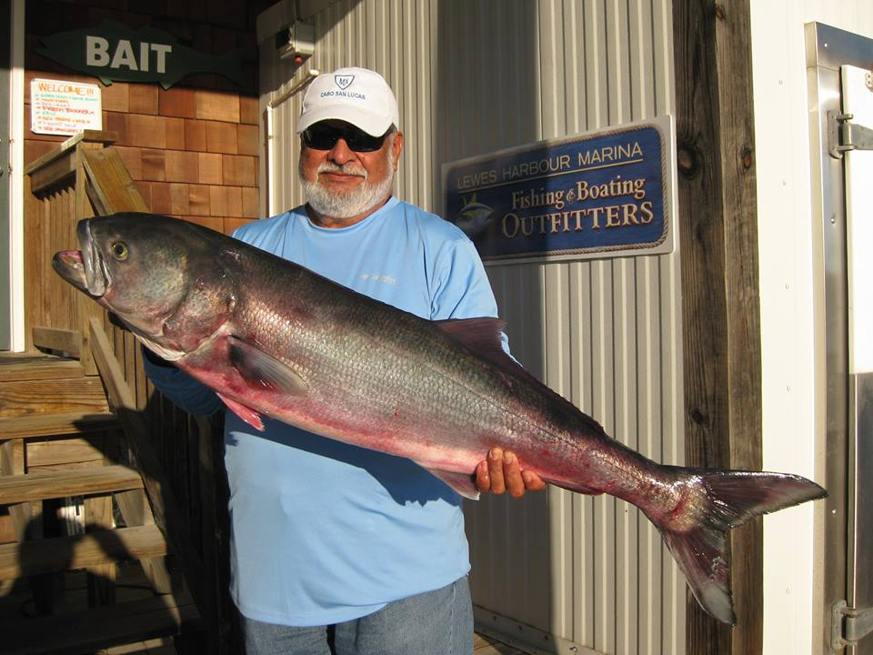 Dr. Luis Mispireta landed what will likely become the new Delaware State Record Bluefish while wreck fishing