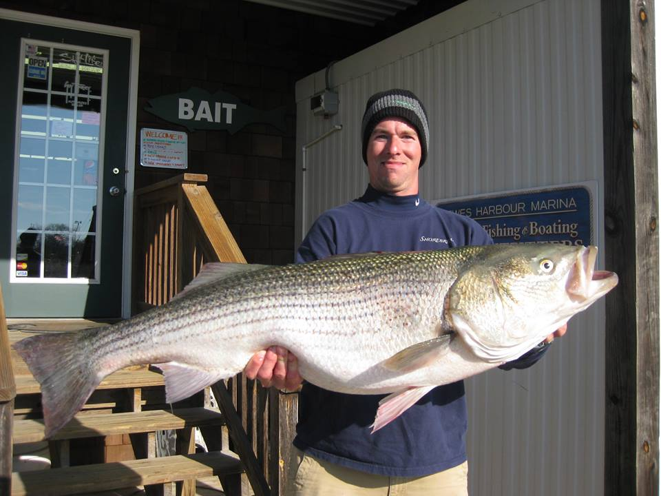 Striped bass update for Surf fishing for stripers