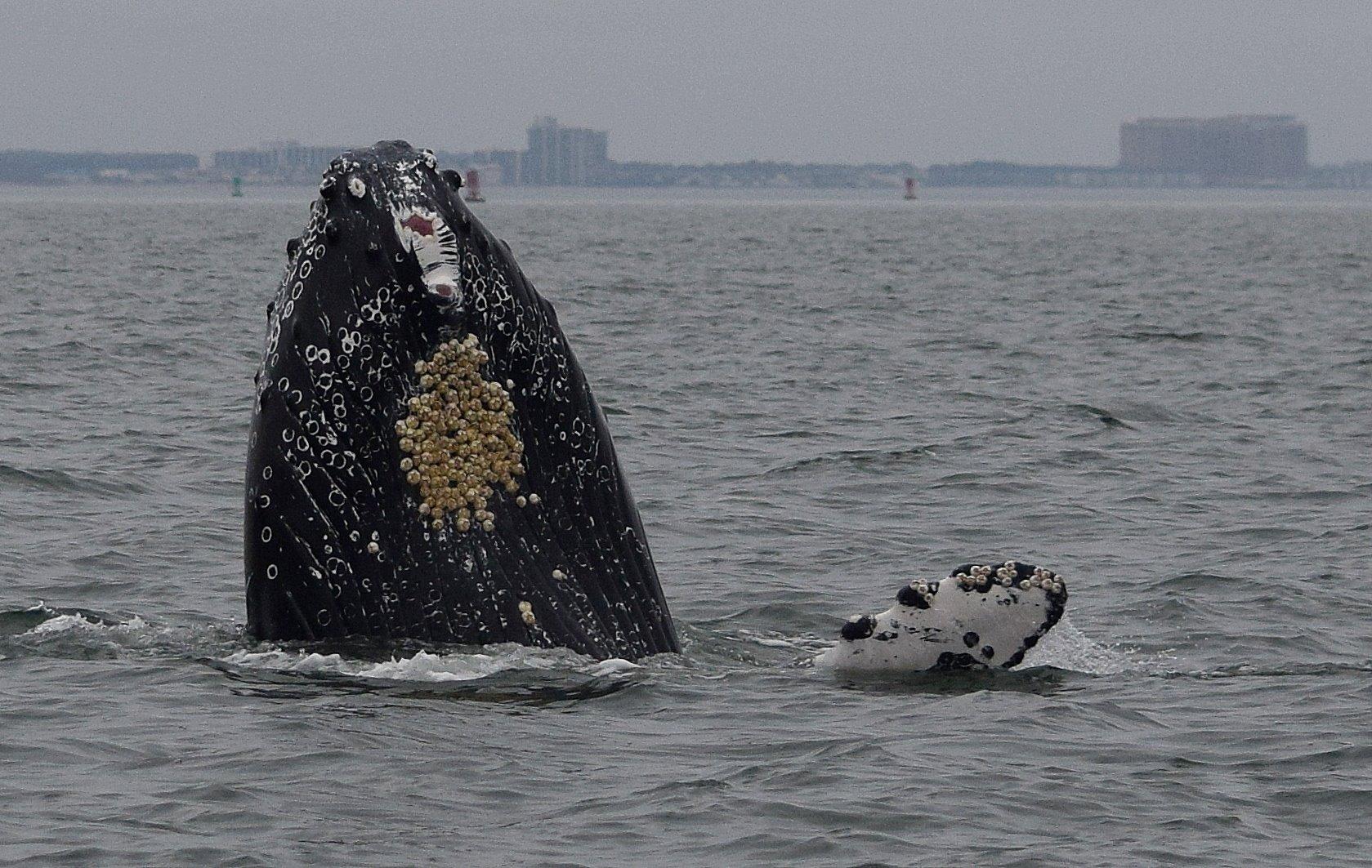 humpback whale, jet ski Brian, chesapeake bay, maryland, east coast whales,