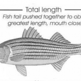 Measuring And Aging Striped Bass