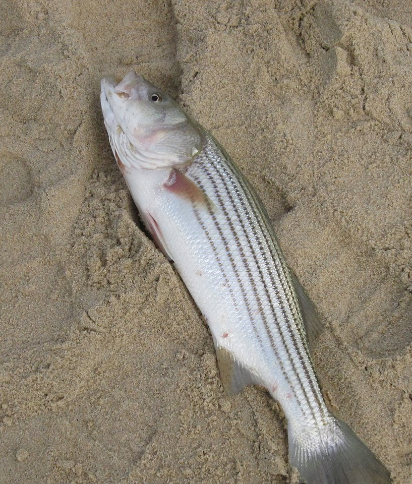striped bass in delaware surf, sussex county, rockfish