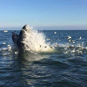 Whale feasting on Bunker ... photo by Don Shough