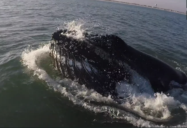 humpback whale breaching, newjersey, delaware, east coast whales