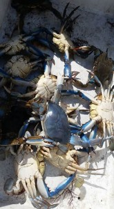 blue claw crab all blue,albino crab, delaware, sussex county
