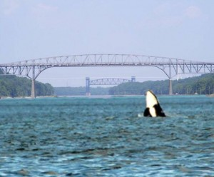 Orca breaching in C&D canal ... photo by Chris Ragni