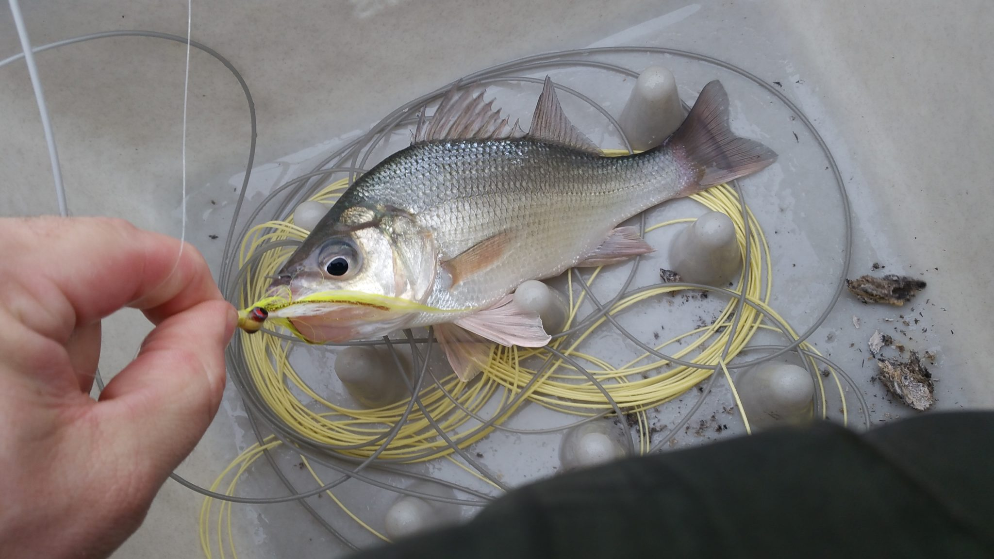 maryland, sandy point, fly fishing, white perch